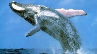 Study finds whale waste could save declining fisheries