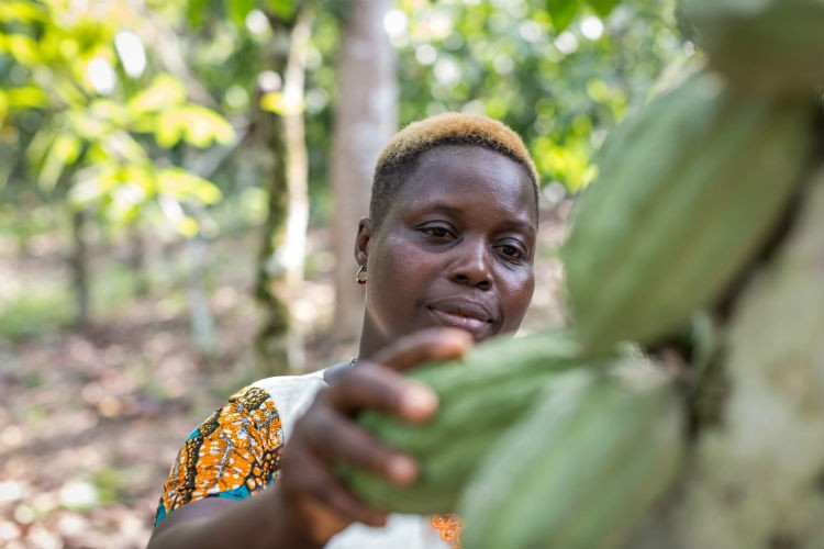 <p>European Authorities and legislators Encouraged to help cocoa farmers as Costs continue to Drop in West Africa thumbnail