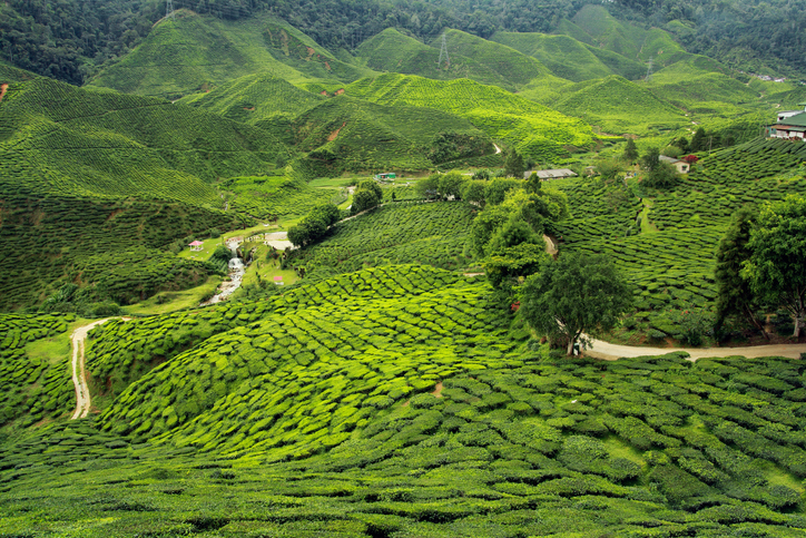 <p>UK tea Business Requires climate Goals to protect largest producer Kenya thumbnail